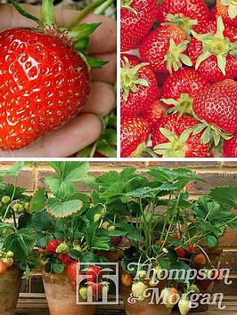 Photo of Thompson & morgan fruit strawberry collection - full season 12 x strawberry runners