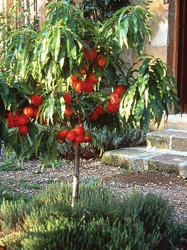 thompson-morgan-patio-range-nectarine-necterella-1-tree