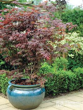 thompson-morgan-acer-palmatum-35-litre-pot-x-1