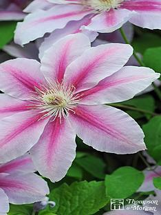thompson-morgan-clematis-nelly-moser-3-litre-pot-x-1