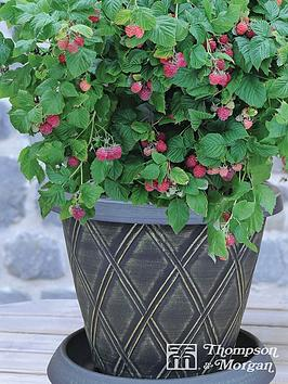 thompson-morgan-raspberry-ruby-beauty-starter-kit-incredicropreg