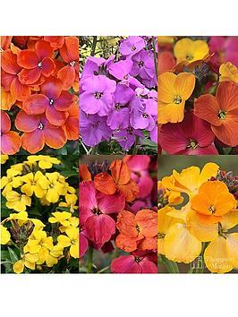 thompson-morgan-erysimum-collection-12-plants