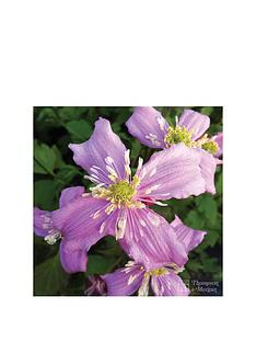 thompson-morgan-clematis-montana-039continuity039-2-x-7cm-potted-plants-free-gift-with-purchase