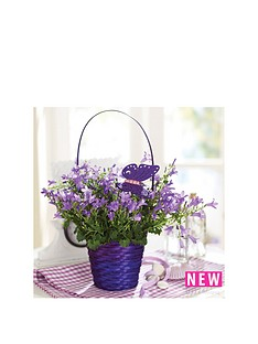 thompson-morgan-campanula-039blue-ocean039-basket-gift