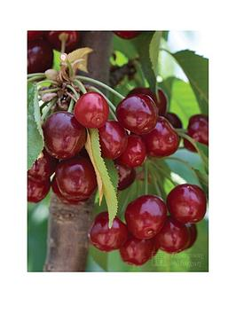 thompson-morgan-cherry-039stella039-1x-maiden-tree