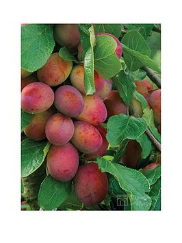thompson-morgan-plum-039victoria039-1x-maiden-tree-45-li