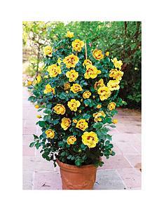 thompson-morgan-rose-039chewbullseyeeye-of-the-tiger039-2x-bareroot-plants