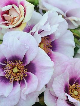 thompson-morgan-rose-039eyes-for-you-blue-eyes039-1x-bar