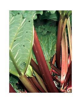 thompson-morgan-rhubarb-039fultons-strawberry-surprise039--