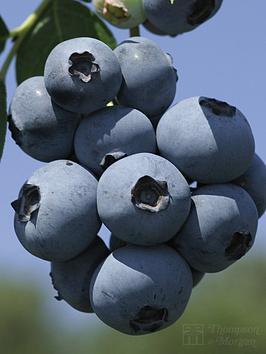 thompson-morgan-blueberry-brigittanbsp--1-x-3-litre-plant