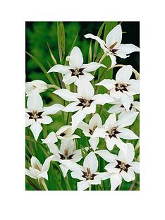 thompson-morgan-abyssinian-gladioli-100-bulbs-size-68
