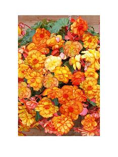thompson-morgan-begonia-cascading-fireball-x-10-bulbs-size-0405