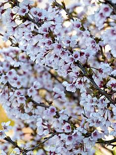 thompson-morgan-prunusnbspornamental-cherry-fuji-cherry