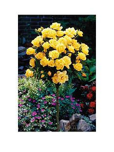 thompson-morgan-rose-standard-yellow-1-bare-root