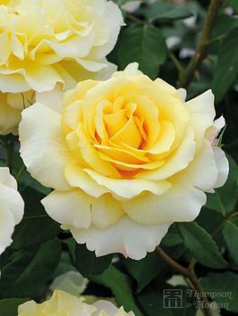 thompson-morgan-rose-sunny-sky-1-x-bare-root