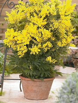thompson-morgan-acacia-mimosa-dealbatanbsp--2-xnbsp9cm-pots