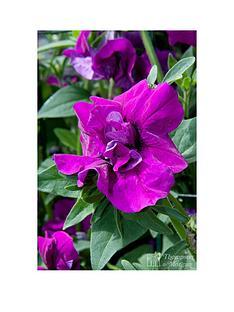 thompson-morgan-petunia-purple-rocket-6-postiplugs