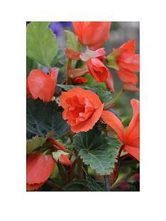 thompson-morgan-begonia-daffadowndilly-10-bulbs-34