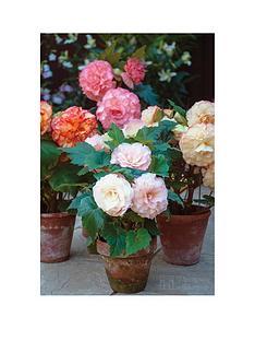 thompson-morgan-begonia-giant-picotee-mixed-10-tubers-size-34