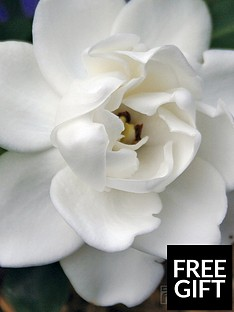 thompson-morgan-gardenia-crown-jewels-1-xnbsp9cm-pot