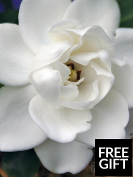 thompson-morgan-gardenia-crown-jewels-1-xnbsp9cm-pot