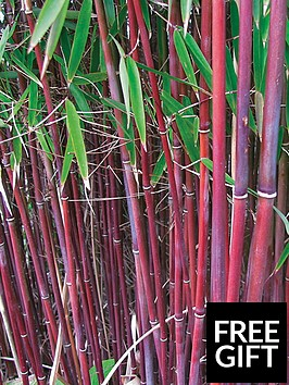 thompson-morgan-fargesia-jiuzhagou-bamboo-red-fountainnbsp