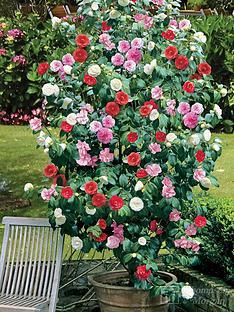thompson-morgan-camellia-tricolour-15cm-pot-x-1