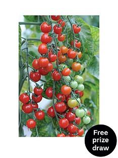 thompson-morgan-tomato-sweet-apertif-postiplug-x-10