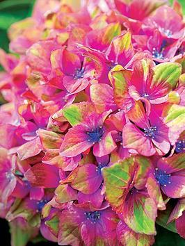 thompson-morgan-hydrangea-schloss-wackerbarth-glam-rock-2