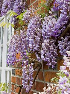 thompson-morgan-wisteria-sinensis-prolific-1-x-2-litre-pot