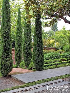 thompson-morgan-cupressus-sempervirens-italian-cypress-stricta-6-x-14cm-pots