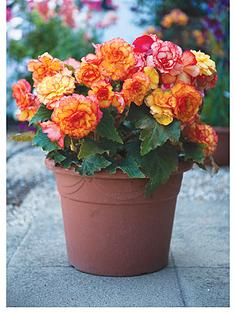 thompson-morgan-begonia-apricot-shades-patio-24-plugs