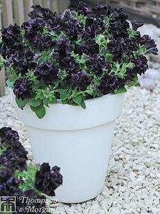 thompson-morgan-petunia-black-night-10-postiplugs