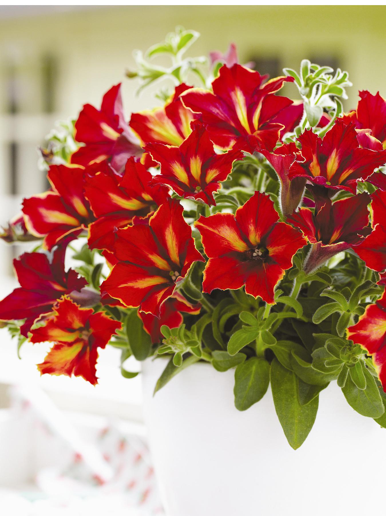 Thompson & Morgan Petunia 'Crazytunia Mandevilla' - 10 Postiplugs