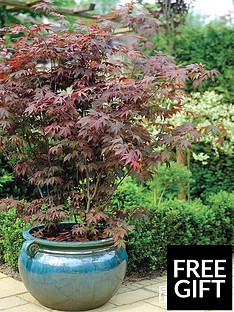 thompson-morgan-acer-palmatum-35-litre-pot