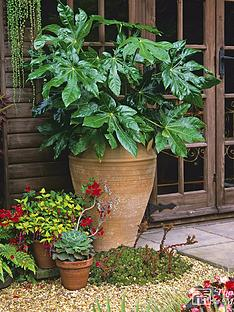thompson-morgan-fatsia-japonica-35-litre-pot-x-1-free-gift-with-purchase