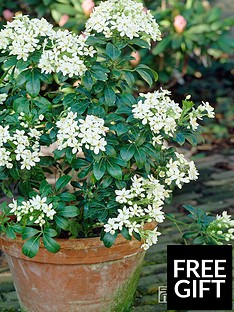thompson-morgan-choisya-ternata-mexican-orange-blossom-35-litre-pot