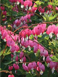 thompson-morgan-dicentra-spectablis-large-plant