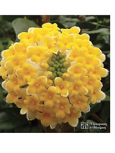 thompson-morgan-edgeworthia-chrysantha-35-litre-pot-x-1
