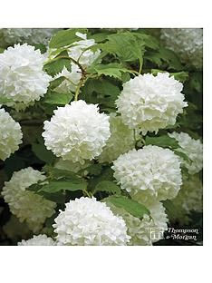 thompson-morgan-viburnum-opulus-roseum-35-litre-pot-x-1--free-gift-with-purchase