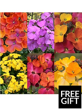 thompson-morgan-erysimum-collection-6-plants