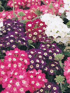 thompson-morgan-verbena-quartz-30-garden-ready-plants