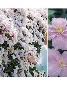 thompson-morgan-clematis-montana-mayleen-fragrant-3