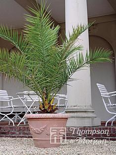 thompson-morgan-phoenix-palm-2-x-3-litre-pots