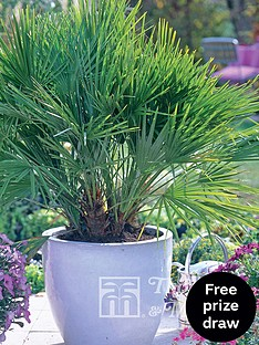 thompson-morgan-chamaerop-humilis-dwarf-fan-palm-3-litre-pot-x-2