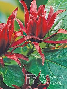 thompson-morgan-california-allspice-calycanthus-floridius-9-cm-pot-x-2-free-gift-with-purchase