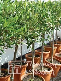 thompson-morgan-olive-tree-standard-olea-europaea-1-pack--free-gift-with-purchase