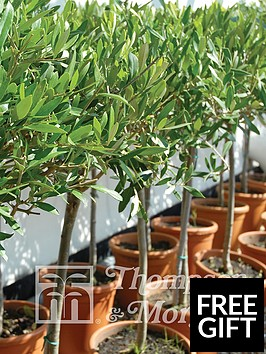 thompson-morgan-olive-tree-standard-olea-europaea-1-pack