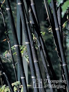 thompson-morgan-phyllostachys-nigra-black-bamboo-9-cm-pot-x-2--free-gift-with-purchase
