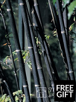 thompson-morgan-phyllostachys-nigra-black-bamboo-9-cm-pot-x-2